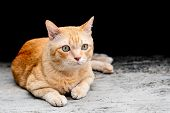 The Cute Orange Tabby Fat Cat Sitting And Looking  At Something With Interest. poster
