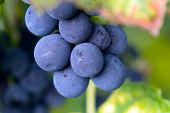 stock photo of close-up shot  - Red Grapes on the Vine  - JPG