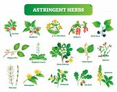 Astringent Herbs Vector Illustration Collection. Natural Homeopathy Wild Plants Botanic Set. Health  poster