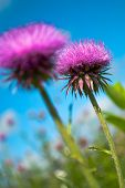 picture of welts  - Welted thistle  - JPG