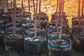 Reforestation Set Of Young Trees Trunks In Pots poster