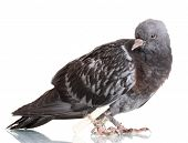 stock photo of pigeon  - One grey messenger - JPG