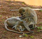 Vervet Monkey (Scientific name: cercopthecus aethiops, or Tumbiili in Swaheli), in Lake Manyara Nati poster
