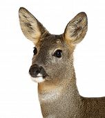 pic of deer head  - European Roe Deer - JPG