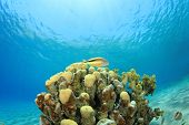 stock photo of hawkfish  - Hawkfish on top of Coral Pinnacle in the Red Sea - JPG