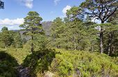Caledonian Pine Forest With Slioch Behind, Loch Maree, Highland, Scotland poster