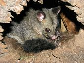 image of possum  - possum or a sugar glider in a hollow log - JPG