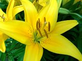 Close Up Of A Yellow Asiatic Lily Flower poster