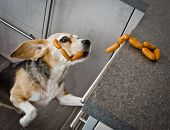 A Naughty Beagle, A Dog, Steals Sausages poster