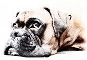 Постер, плакат: Собака