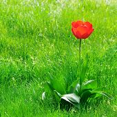 foto of swales  - red  tulips on a green lawn - JPG