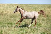 stock photo of appaloosa  - Nice appaloosa mare running on pasturage in summer - JPG