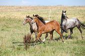 foto of appaloosa  - Three appaloosa horses running on pasturage in summer