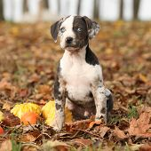image of catahoula  - Nice Louisiana Catahoula puppy with pumpkins in Autumn - JPG