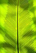 stock photo of spores  - Birdnest fern leaf detail shot showing spores  - JPG