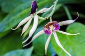 picture of hornets  - Two encyclia Green Hornet orchids on the vine - JPG