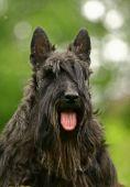 foto of scottie dog  - The Scottish Terrier  - JPG