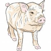 pic of pot bellied pig  - sketch closeup portrait of funny Pot - JPG