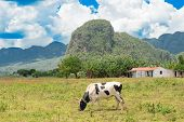Rural scene with rustic houses and animals at the Vinales Valley in Cuba, worldwide known for its natural beauty and the fame of its tobacco poster
