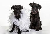 stock photo of schnauzer  - Two black miniature schnauzer puppies - JPG