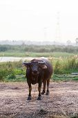 stock photo of female buffalo  - Close up buffalo in the field thailand - JPG