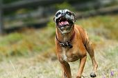 stock photo of ugly  - ugly boxer dog running on green meadow towards the camera showing teeth