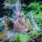 pic of lion-fish  - poisonous exotic zebra lion fish underwater in aquarium