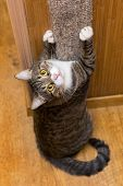foto of claw  - Grey cat sharpening his claws on the claw sharpener - JPG