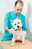 pic of veterinary surgery  - male veterinarian surgeon worker treating examining west highland white terrier dog in veterinary surgery clinic - JPG