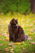 pic of portrait british shorthair cat  - chocolate british shorthair cat walking outdoors in autumn - JPG
