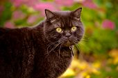 picture of portrait british shorthair cat  - beautiful brown british shorthair cat outdoors portrait - JPG