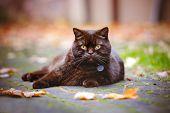 picture of portrait british shorthair cat  - beautiful british shorthair cat walking outdoors in autumn - JPG