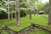 picture of dogwood  - A rustic cabin in the Smokies surrounded by blooming dogwood trees in the spring - JPG