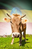 foto of ethiopia  - Cow with flag on background series  - JPG