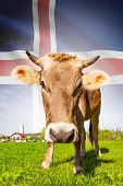 stock photo of iceland farm  - Cow with flag on background series  - JPG
