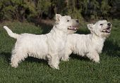 foto of west highland white terrier  - Cute West Highland White Terrier puppies looking in the grass - JPG