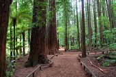 picture of redwood forest  - Red soil walkway through mature Redwood tree forest - JPG