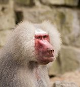 foto of scars  - A portrait of a scarred male hamadryas baboon - JPG