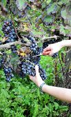 picture of moscato  - young woman cutting branch of grapes in oltrepo pavese - JPG
