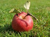 pic of bohemia  - apple in the grass in autumn - JPG