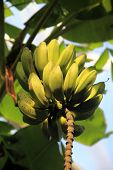stock photo of bunch bananas  - A bunch of unripe bananas hanging from a banana plant - JPG