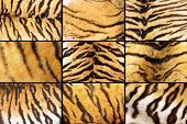 stock photo of tigers  - collection of tiger fur closeups different details images taken on the ssame animal - JPG