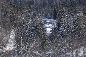 pic of conifers  - A winter landscape with conifers taken at the Swiss canton Ticino  - JPG
