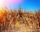 picture of corn stalk  - wooden fence and dry corn stalks in rural areas - JPG