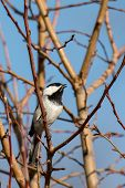 foto of chickadee  - A chickadee whistles his cute little tune - JPG