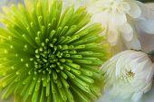 image of pom poms  - Soft white Pom Poms Yoko Ono flower - JPG