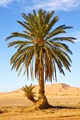picture of oasis  - palm in the desert oasi morocco sahara africa dune - JPG