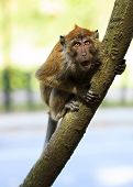 stock photo of growl  - Angry Monkey sitting on a tree and growling - JPG
