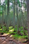 stock photo of conifers  - sun shining through the conifer forest on the Avalanche lake trail in Glacier National Park - JPG