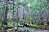 image of conifers  - sun shining through the conifer forest on the Avalanche lake trail in Glacier National Park - JPG